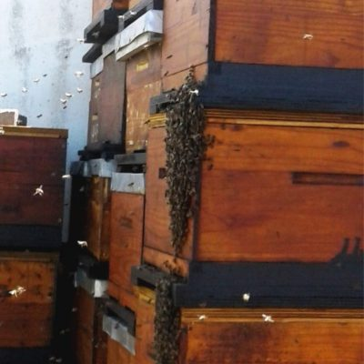 New Swarm Attracted to Beehive