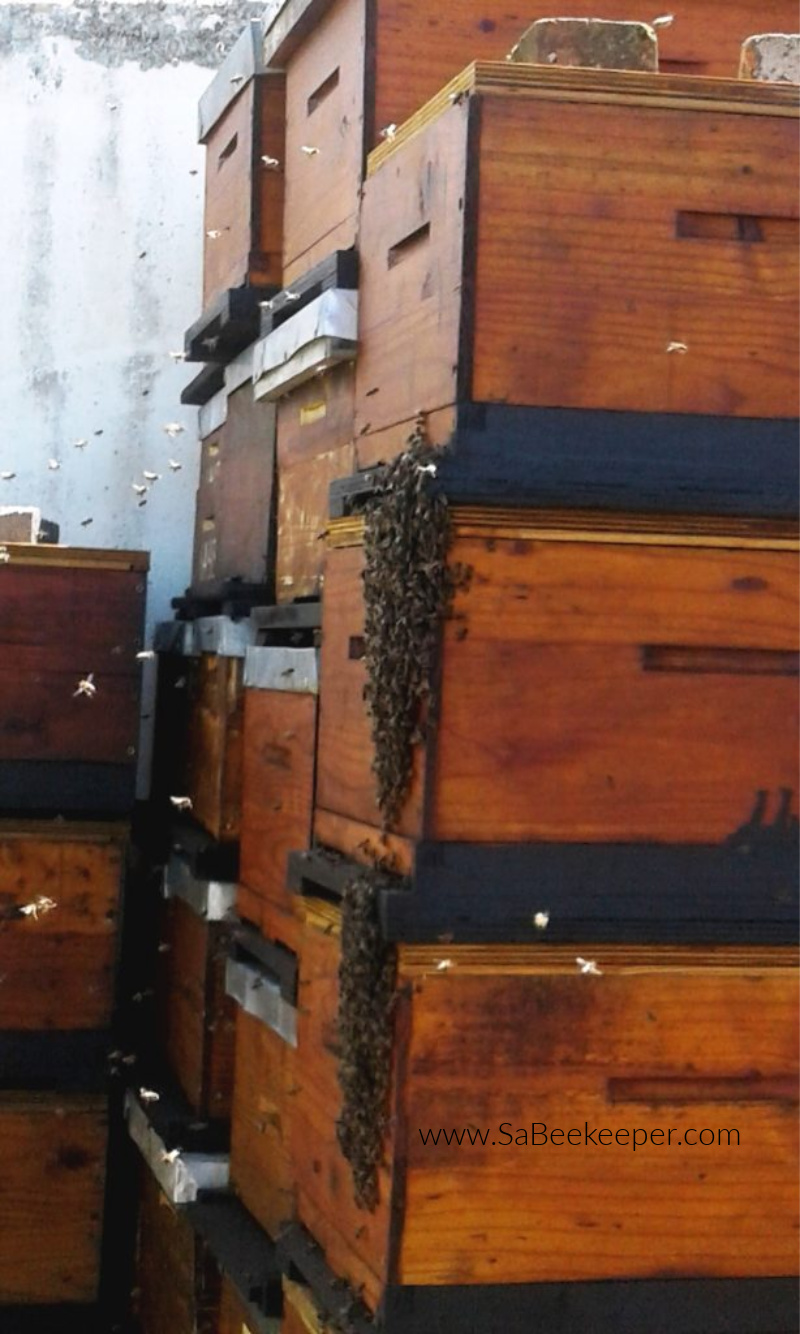 honey beehives newly made and drying out, new swarm arrives and enters the new box