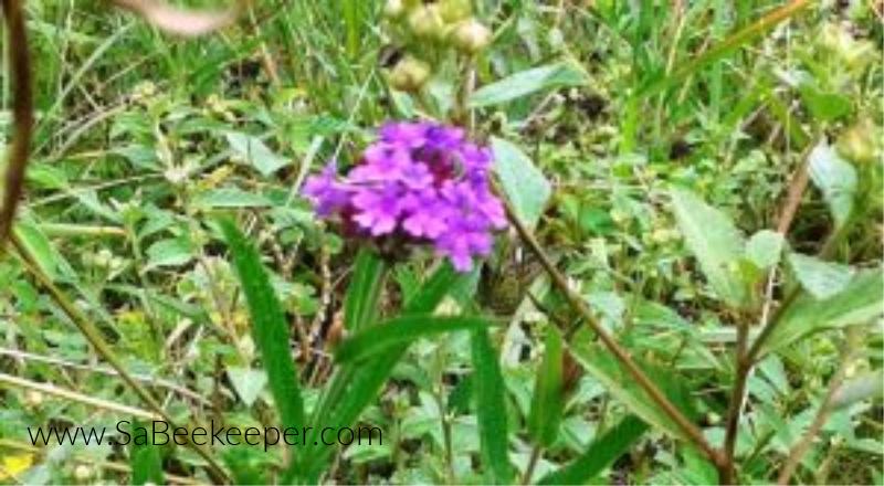 a purple wild flower in the fields.