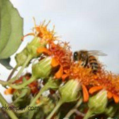 Ecuador Honey Bees