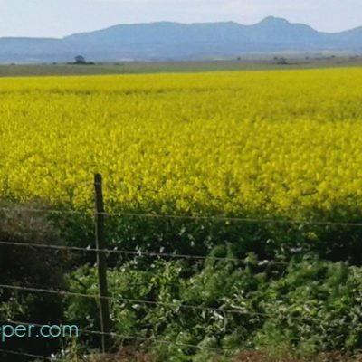 Canola Fields and Swarms.