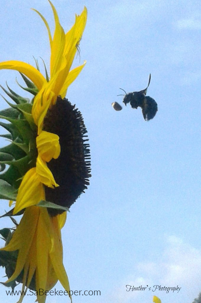 on this sunflower is a spider on the petals and a large carpenter bee arriving to the sunflower