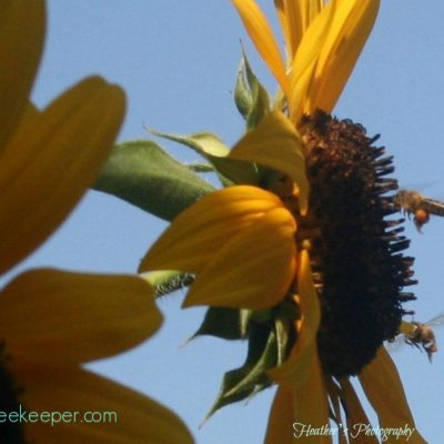 Honey Bees and Sunflowers