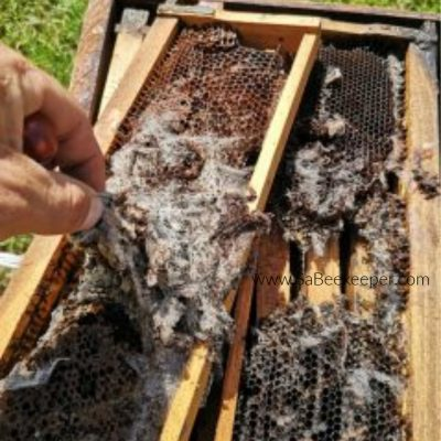 Wax Moth Pest in Beehive