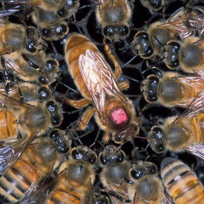 The Duties of the Honey Bee