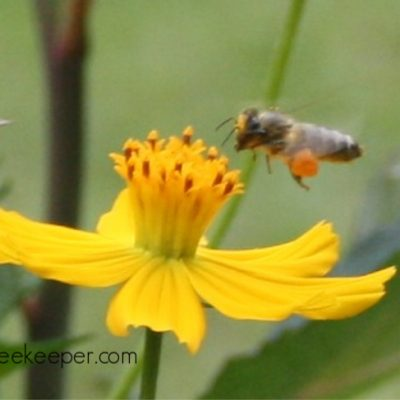 Pollen and the Bees