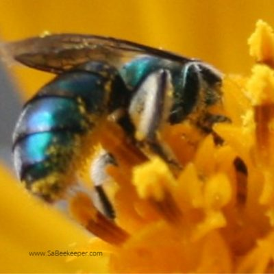 The Blue Mason Bee