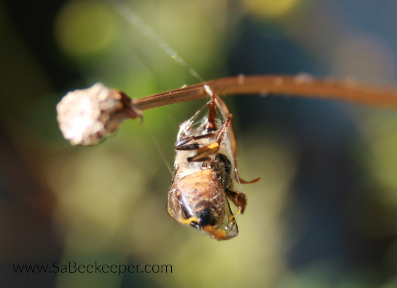a spider had caught this bee and wrapped it up in a web and left hanging on a stem