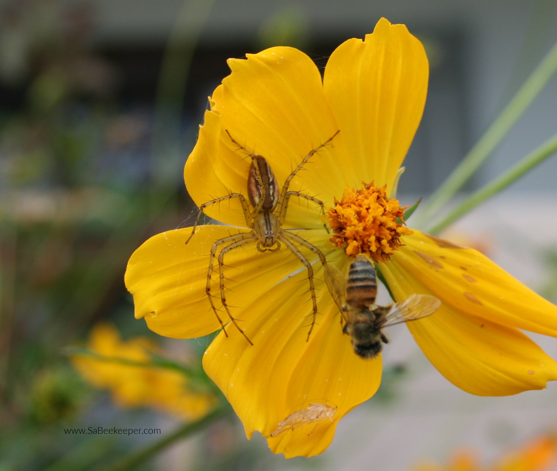 a spider on the petals of a yellow cosmos flower that has caught a honey bee and immobilized it.