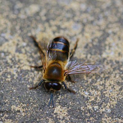 The Drone Honey Bee