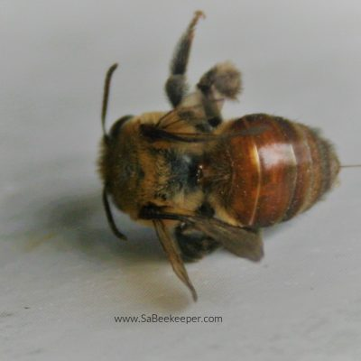 The Red Mason Bee (Osmia Bicomis)