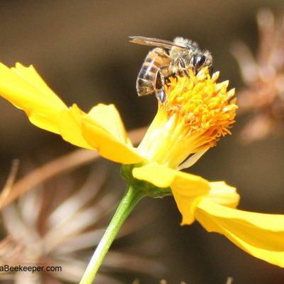 A Busy Honey Bee Foraging on Cosmos Flowers