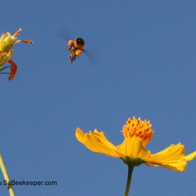 Cosmos Flowers and Busy Honey Bees