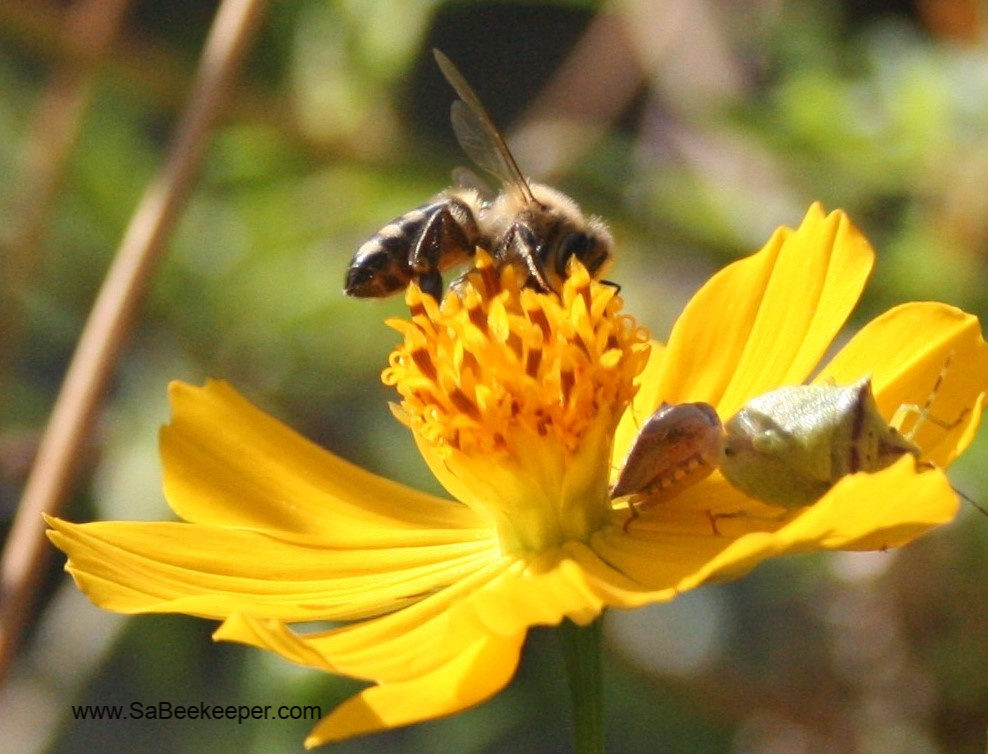a honey bee on cosmos flowers and an insects with a odd looking jaw on the petals as well