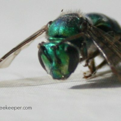 Body of Dead Blue Mason Bee
