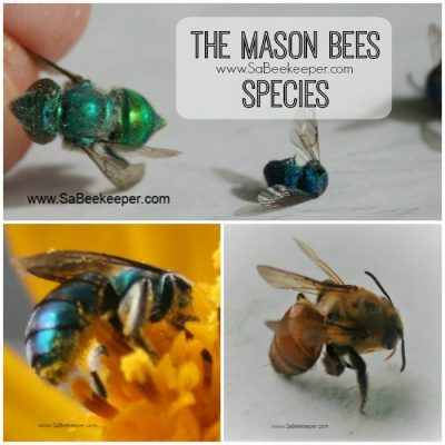 Life Cycle of Mason Bees Species