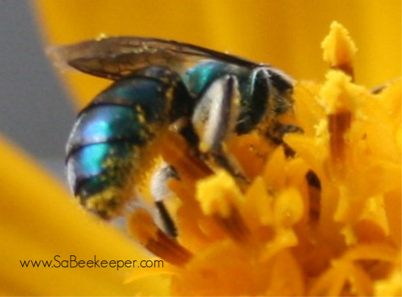 all bee species found picture gallery