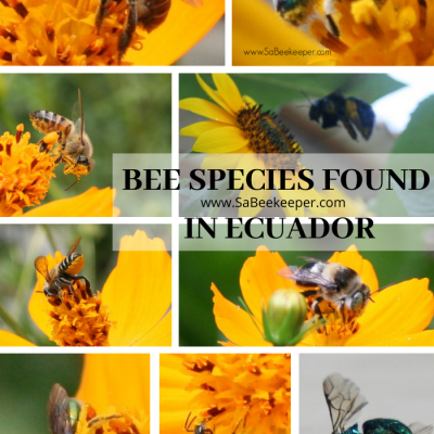 Bee Species In Ecuador