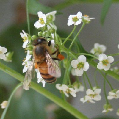 Honey Bee on Tiny Flowers