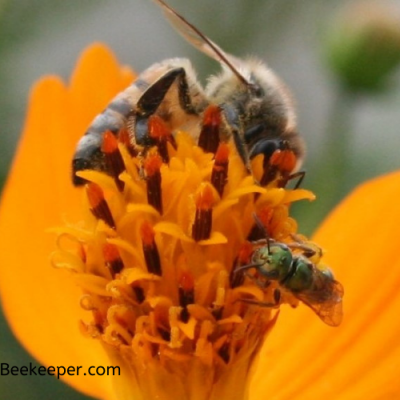 The Honey Bee and Sweat Bee on flowers