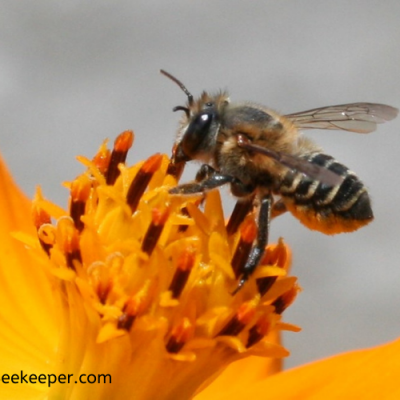 How to Identify a Bee