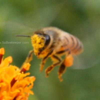 Pollen Faced Honey Bee