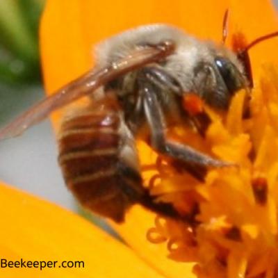 Life Cycle of Mason Bees Species