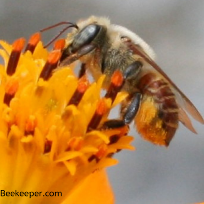 A Red Leafcutter Bee Pollinating