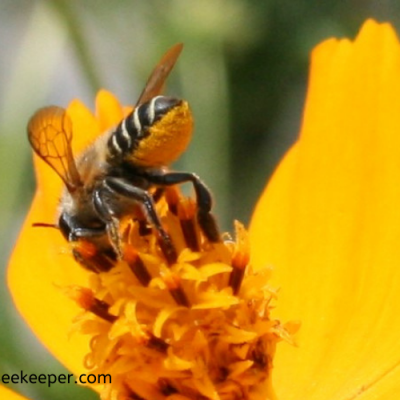 A Leaf Cutter Bee on flowers