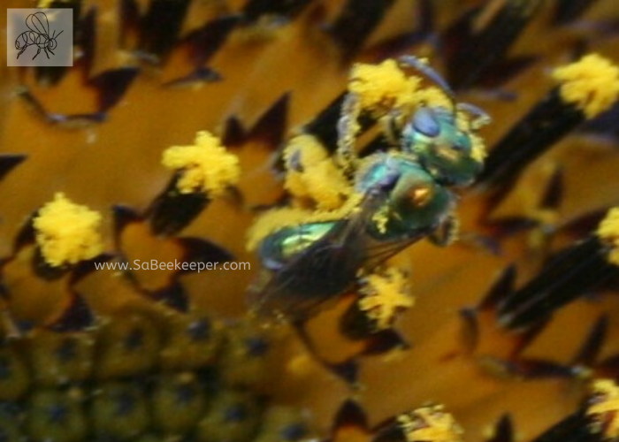 pollen covered green sweat bee on a sunflower