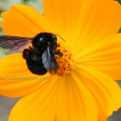 Black Bumble Bee Foraging on Flowers
