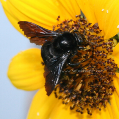 Black Bumble Bee on Sunflowers