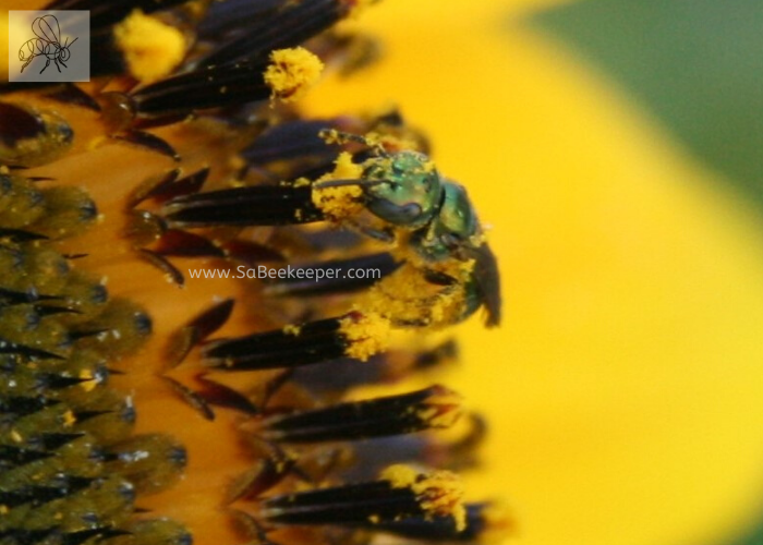 face and body full of pollen is this green sweat bee on a sunflower