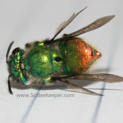 Glistening Green Orchard Bee