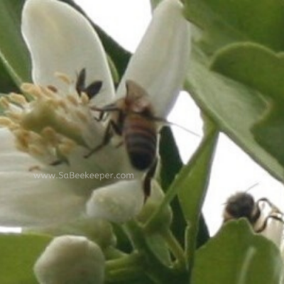 Honey Bees Pollinating Blossoms
