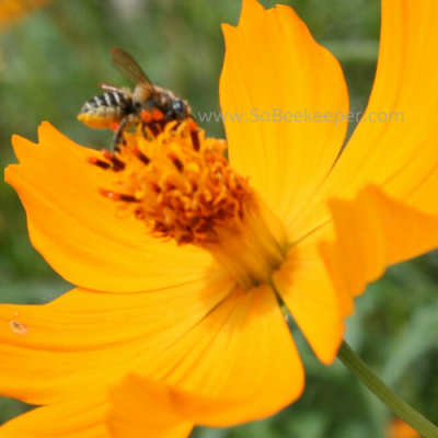 A Leaf Cutter Bee on Cosmos Flowers