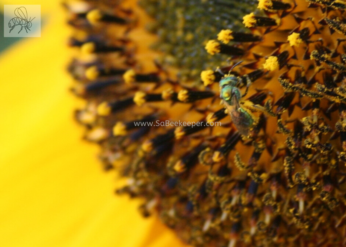 Green sweat bee full of pollen on a sunflower