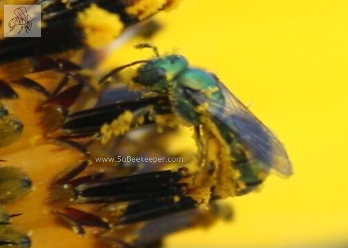 metallic green sweat bee with pollen all over its legs and body