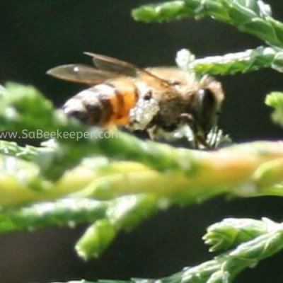 Honey Bee forages wax on Leaves