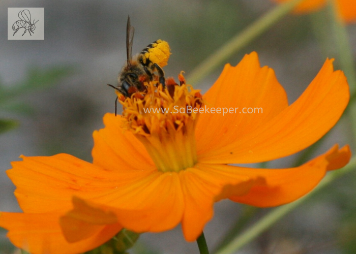 a dark busy leafcutter bee with some pollen on its yellow lower abdomen. foraging a cosmos flower