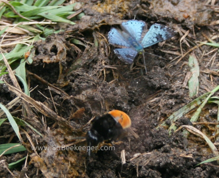 a ecuadodrian buff tailed carder bumblebee and a blue butterfly foraging
