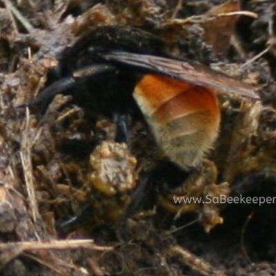Ecuador's Social Bumblebee at Work.