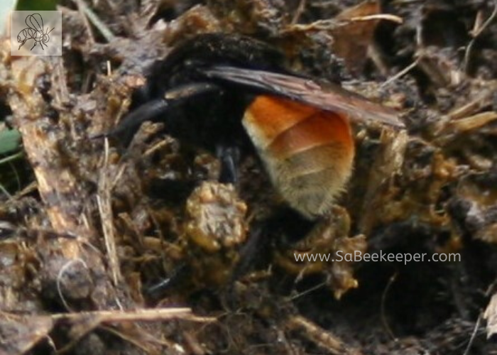 a ginger buff tailed bumblebee collecting on its legs