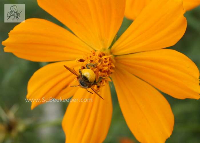cosmos flower with a busy leafcutter bee head first in the flower. foraging showing the yellow lower abdomen