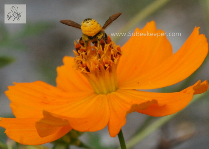 A cosmos flower getting foraged on by this busy leafcutter bee with pollen on its yellow lower abdomen