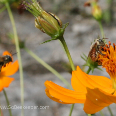 Both Leaf Cutter Bees on Flowers