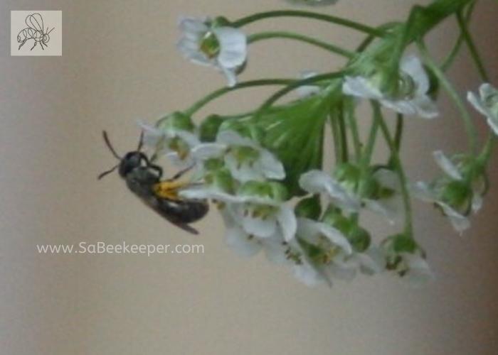 dark sweat bee full of pollen on tiny flowers