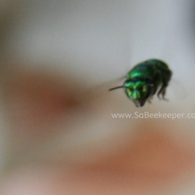 Hovering Metallic Green Orchard Bee