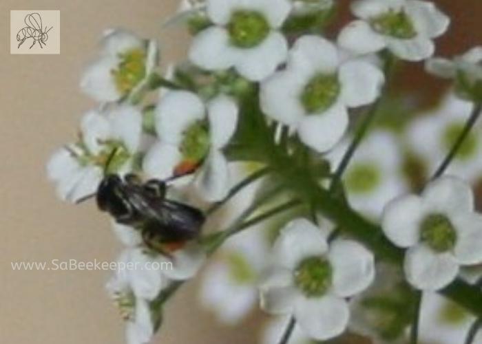 dark sweat bee on white tiny flowers