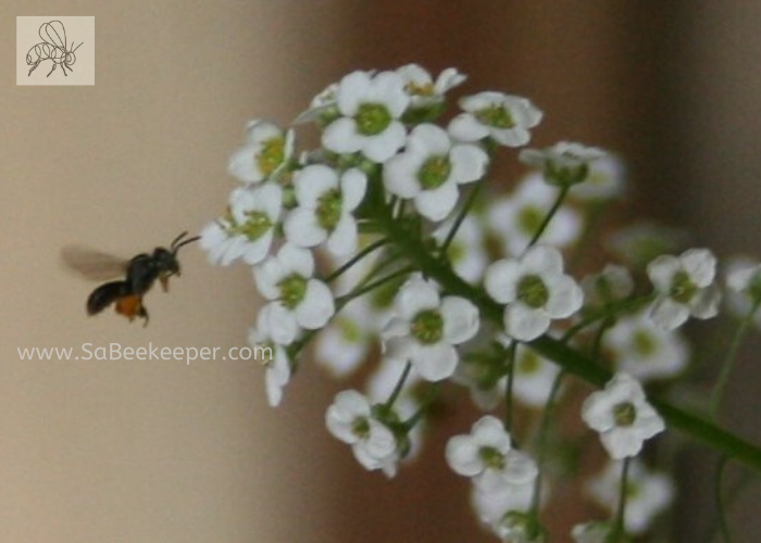 a dark sweat bee flying to some alyssum flowers